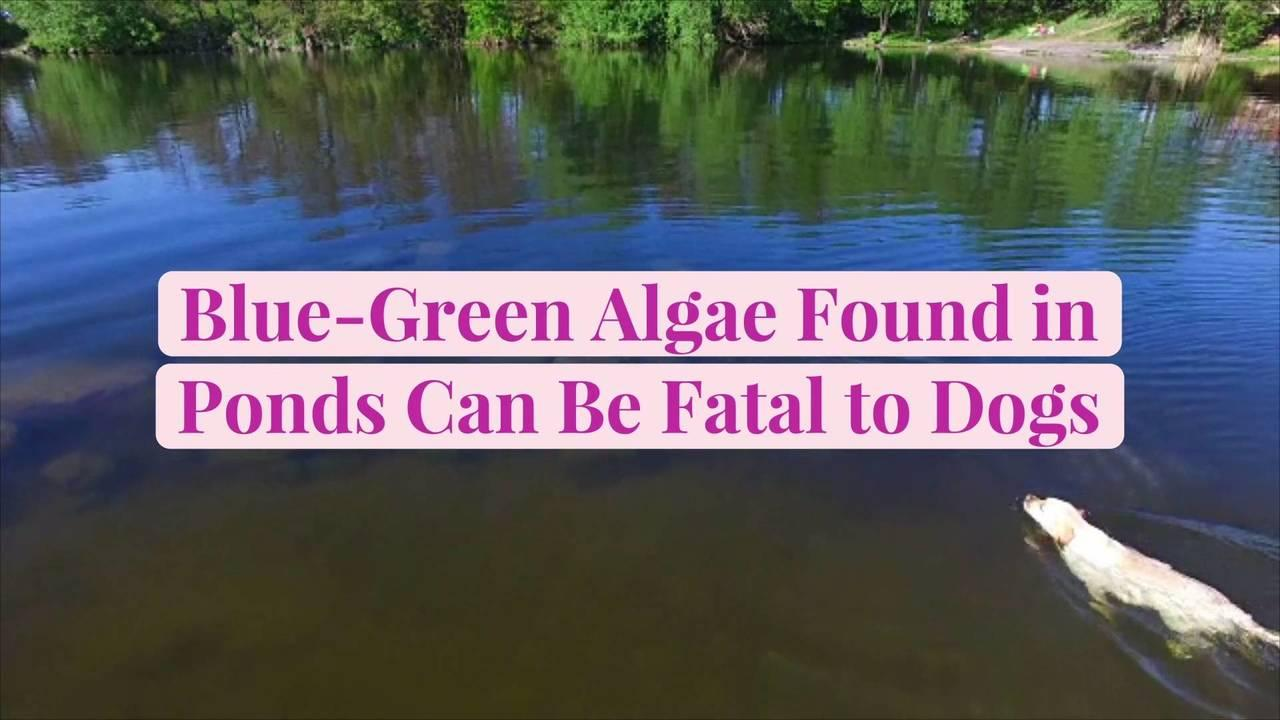 Blue-Green Algae Found in Ponds Can Be Fatal to Dogs