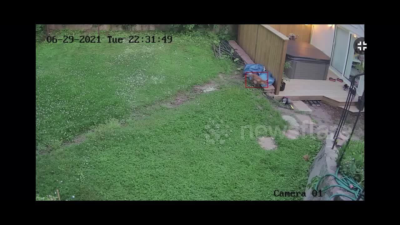 Untitled Fox Game? Curious fox wanders into backyard in Stockholm and escapes with SHOE