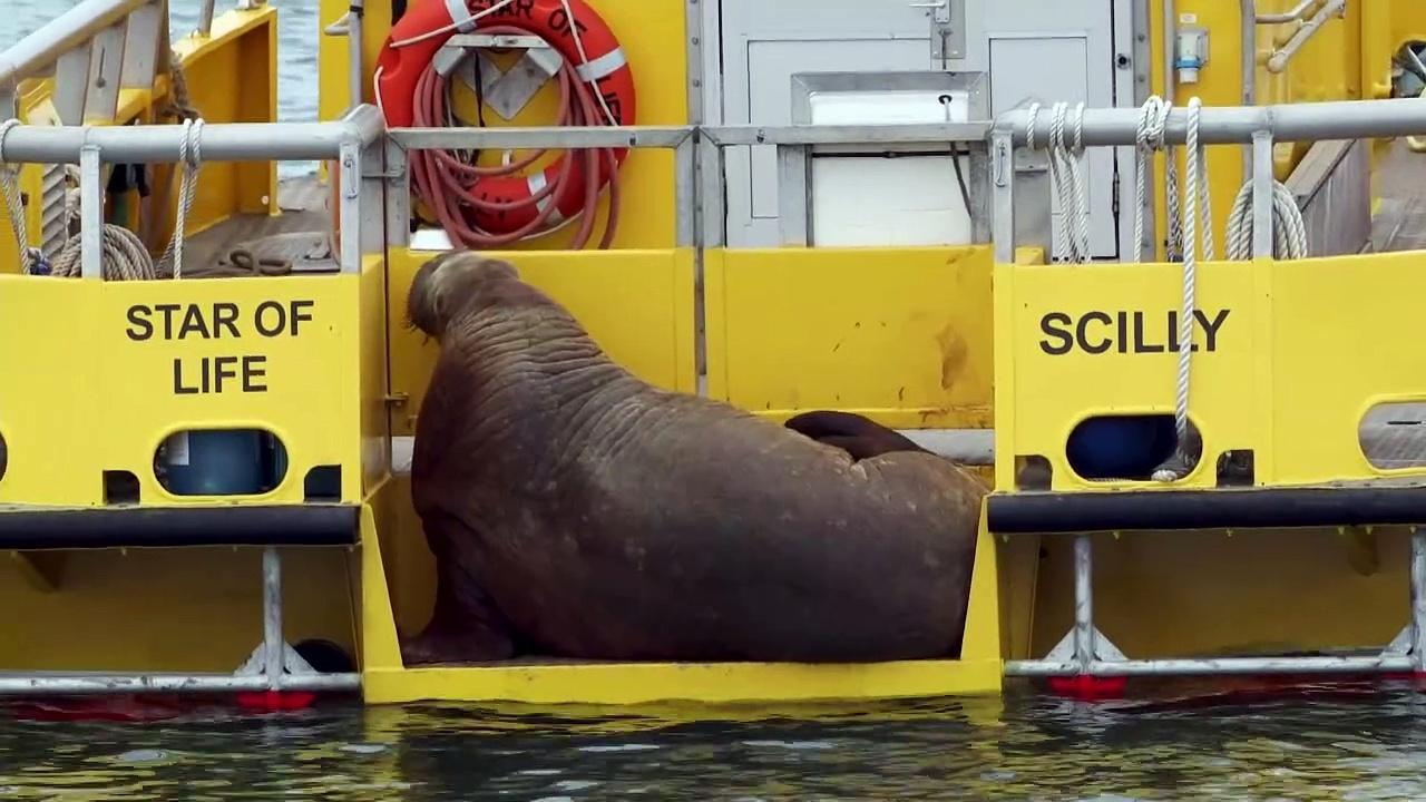 Wally the Walrus wreaks havoc on Isles of Scilly