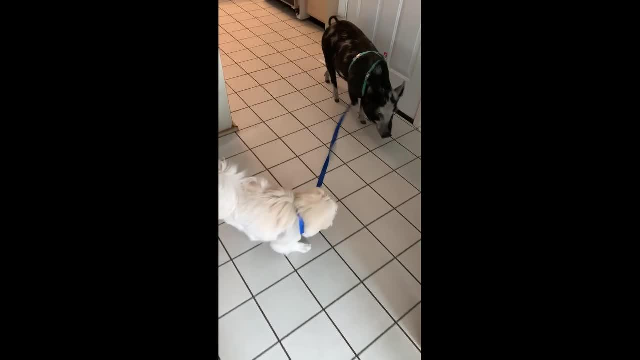 The cutest friendship: Dog leads pet pig around the house using a leash