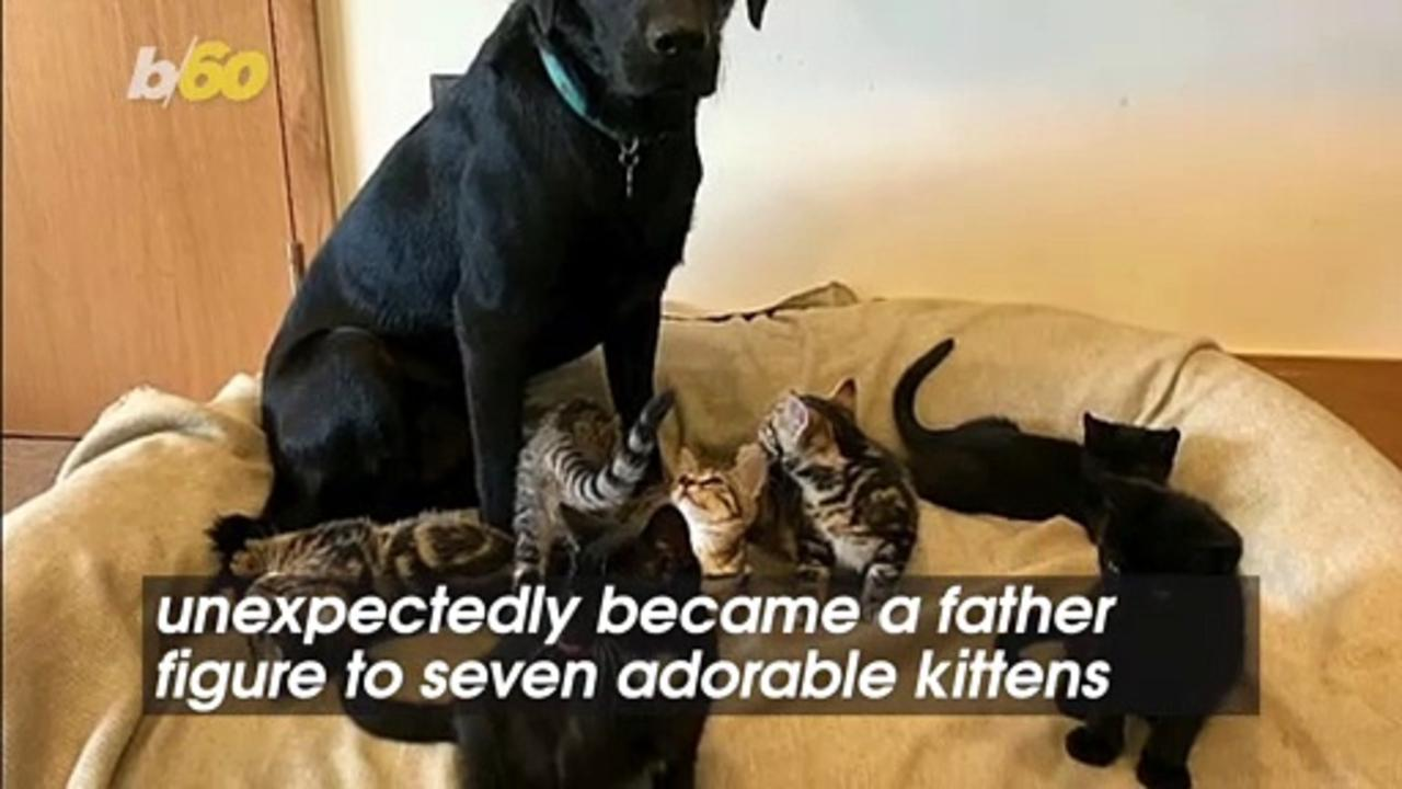 The Endearing Story of How This Dog Became a Father Figure to Seven Motherless Kittens