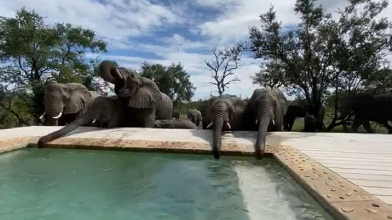 Large elephant herd drinks out of safari swimming pool