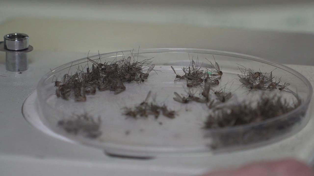 West Nile Virus Detected In Culex Mosquitoes In Weld County