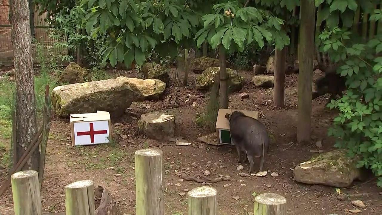 Bristol Zoo pigs predict victory for England at Euros
