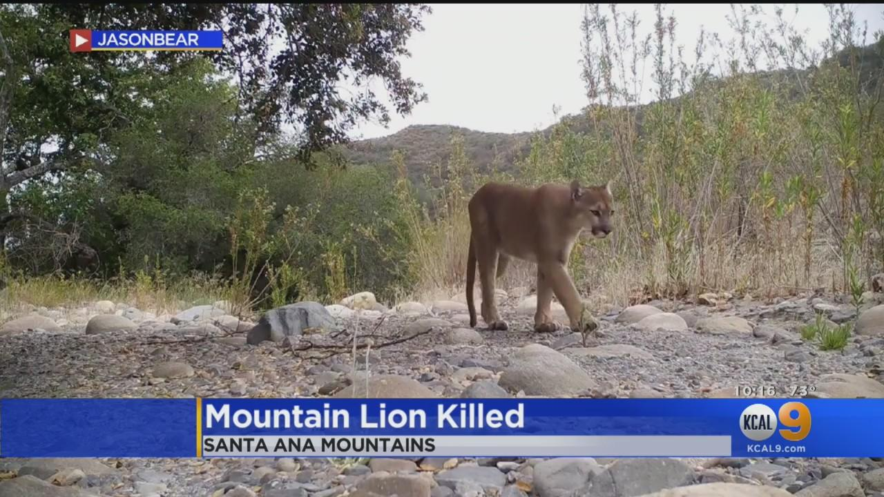 Wildlife Officials Investigating Shooting Death Of Mountain Lion In Orange County