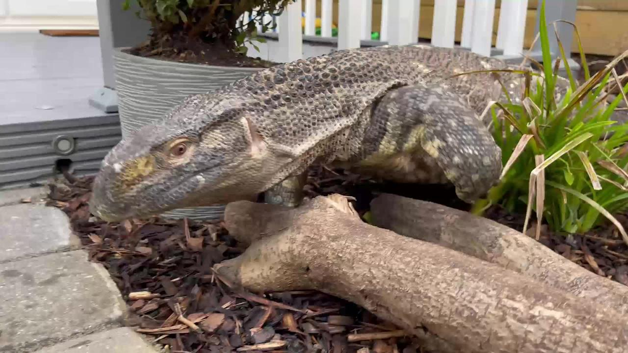 Meet Rex - the 18kg monitor lizard who lives with UK family-of-four and even goes out for walks