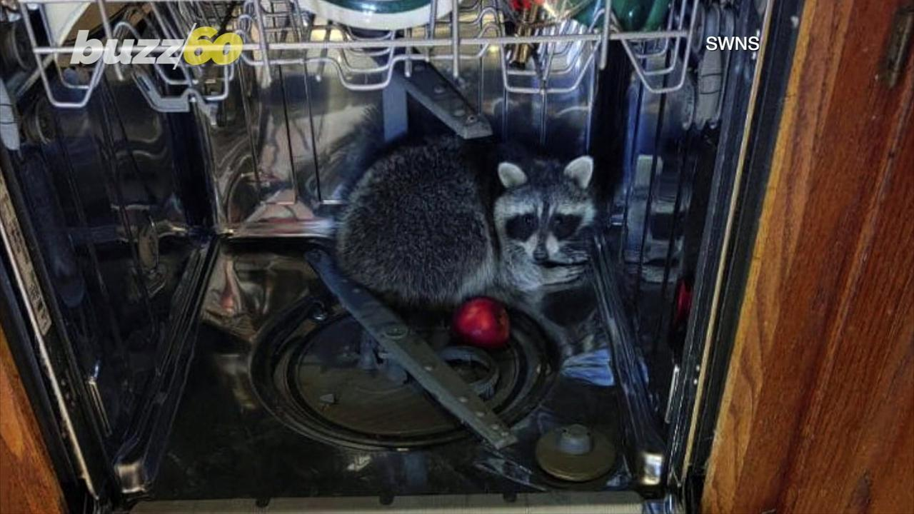 Police Discover Raccoon Resting Inside Dishwasher!