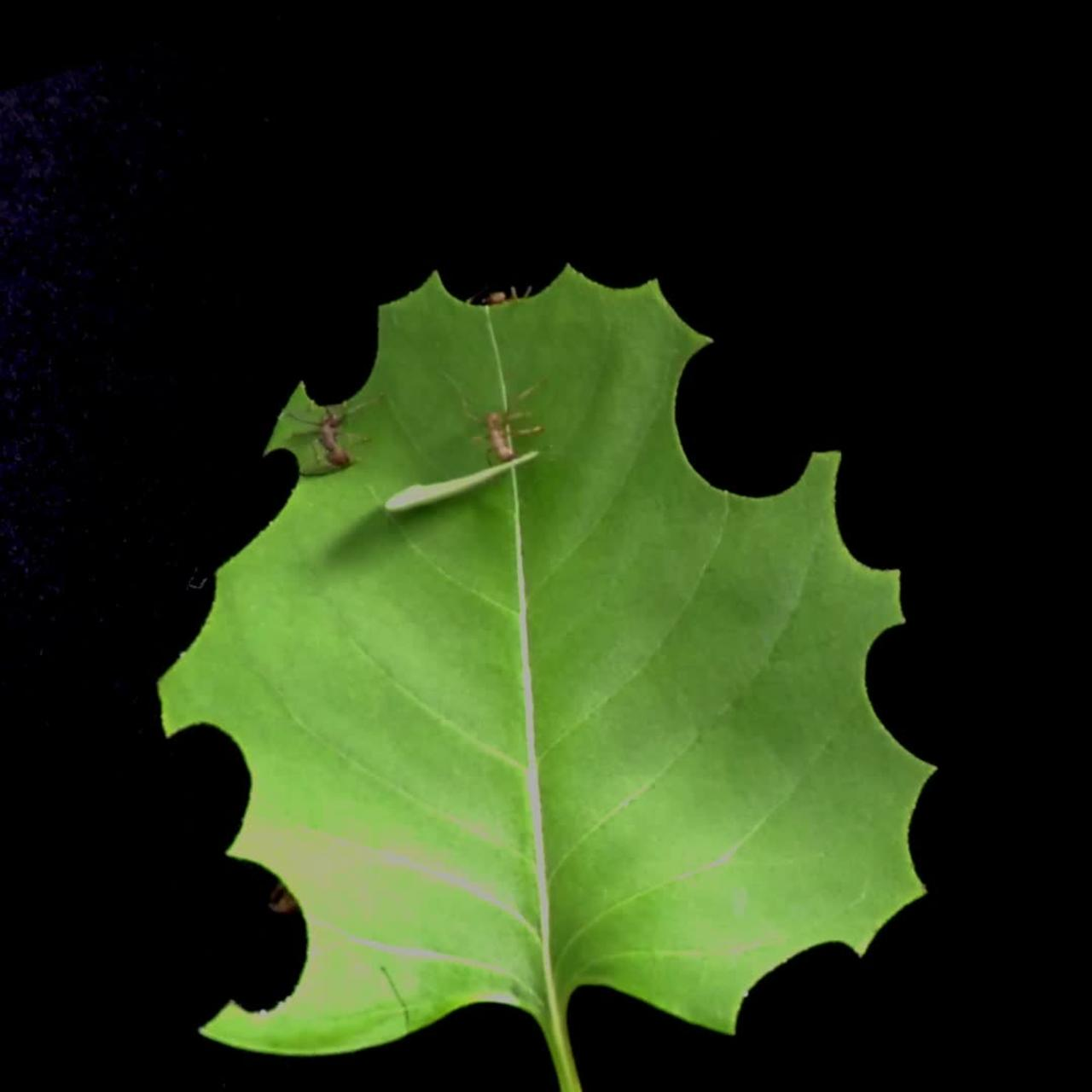 Time lapse shows how effective leafcutter ants can be