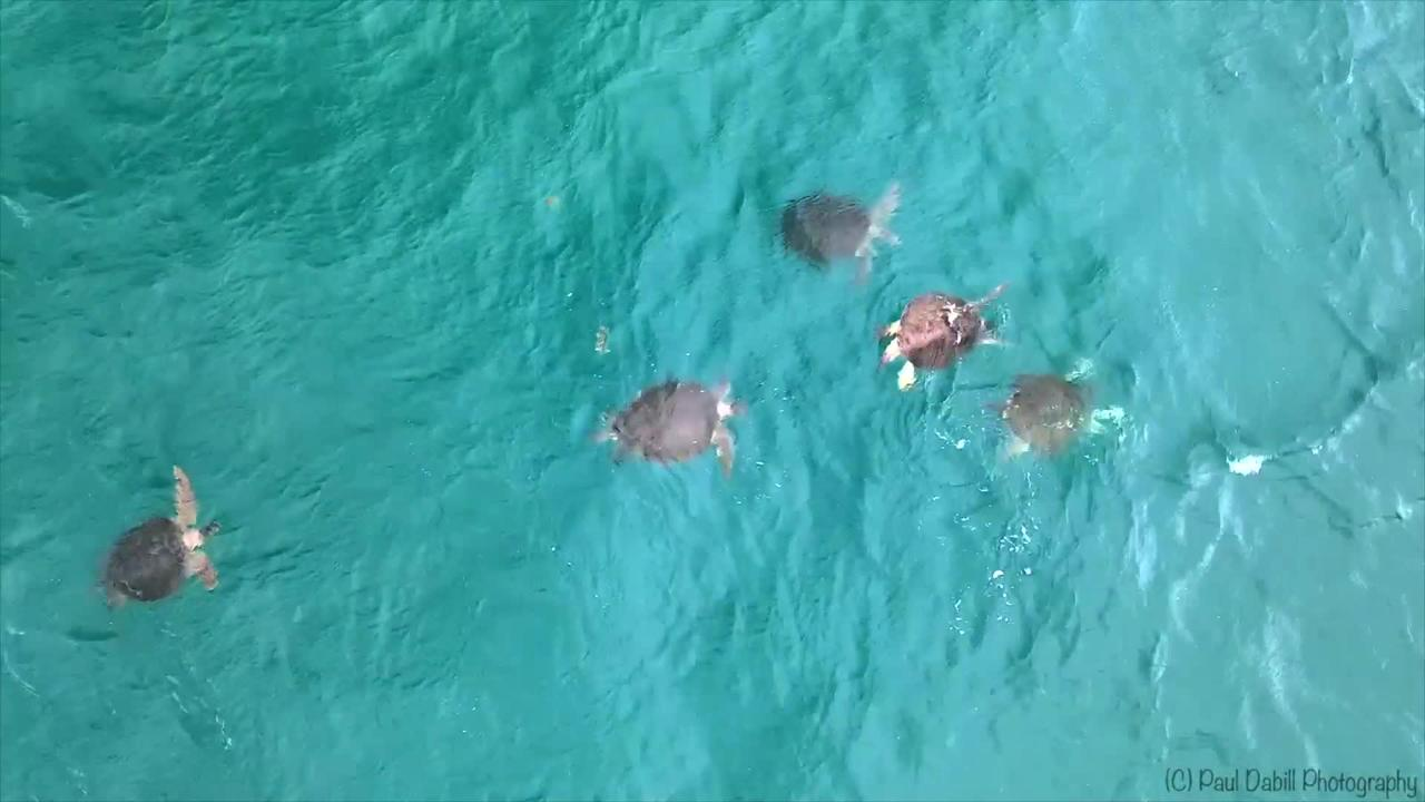 Rare footage captures group of usually highly solitary sea turtles in Florida