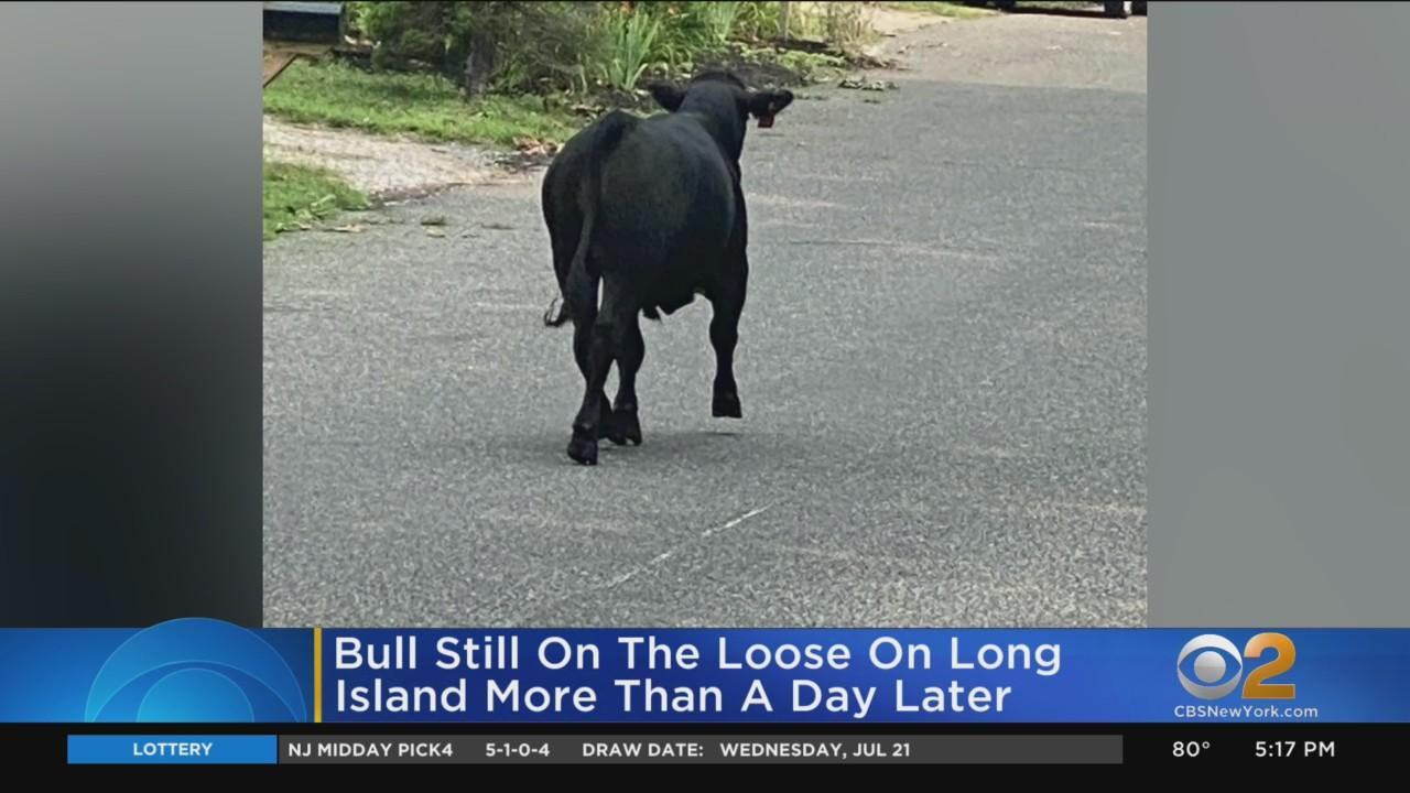 Bull Still On The Loose On Long Island More Than A Day Later