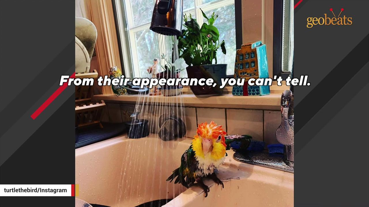 This parrot's best friend is an electric toothbrush