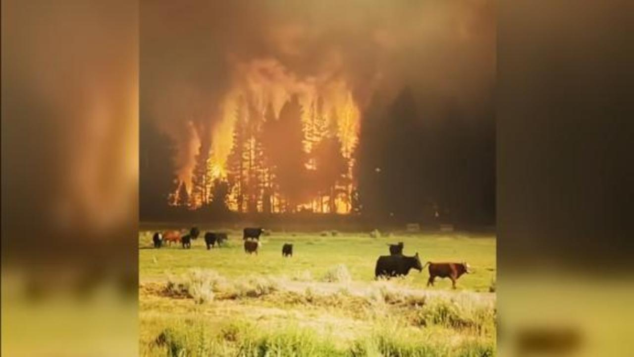 Watch cattle flee as California wildfire rages