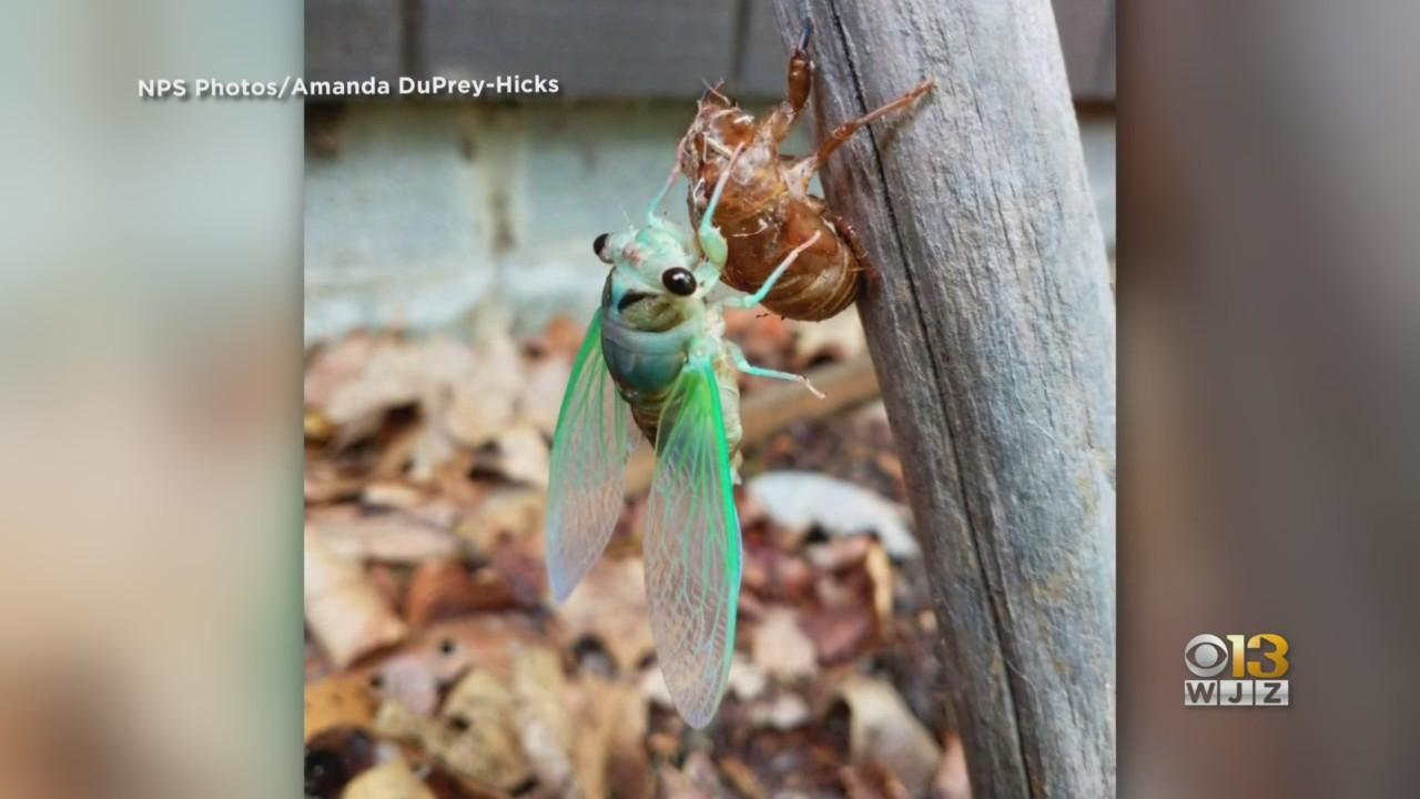 Dog-Day Cicadas Emerge In Time For Dog Days Of Summer