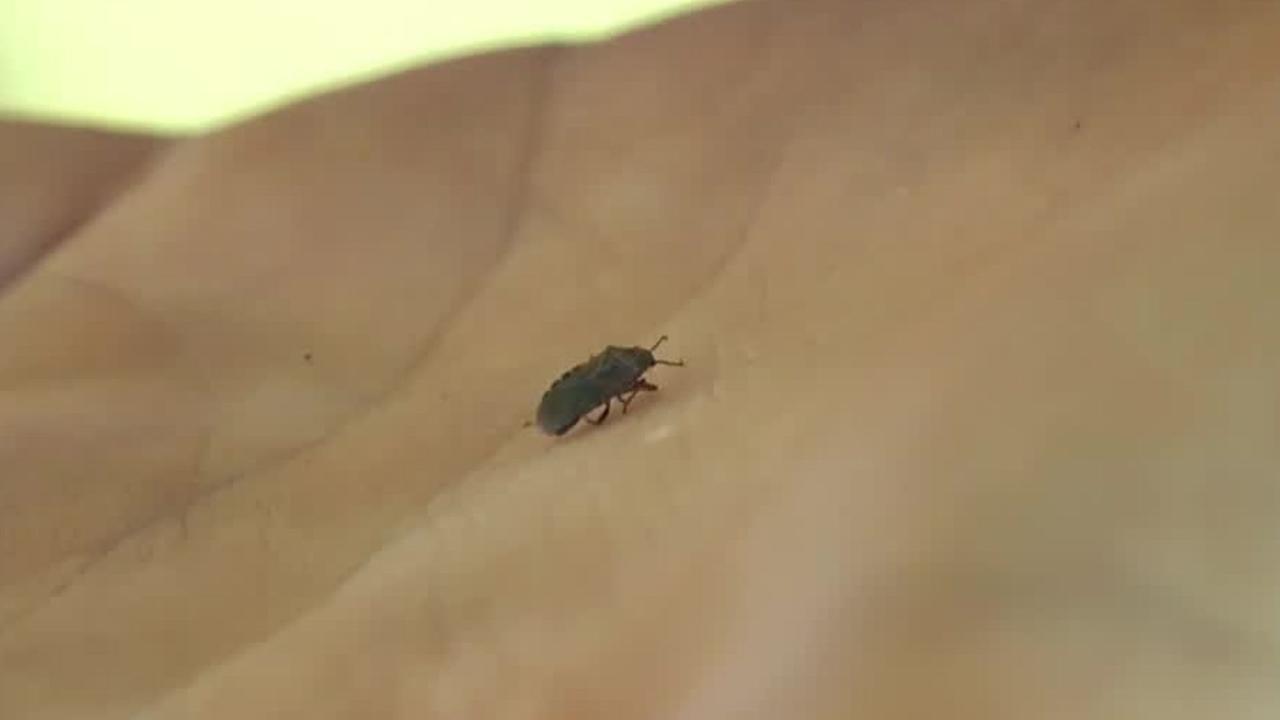 Elm seed bug swarms spreading across Utah