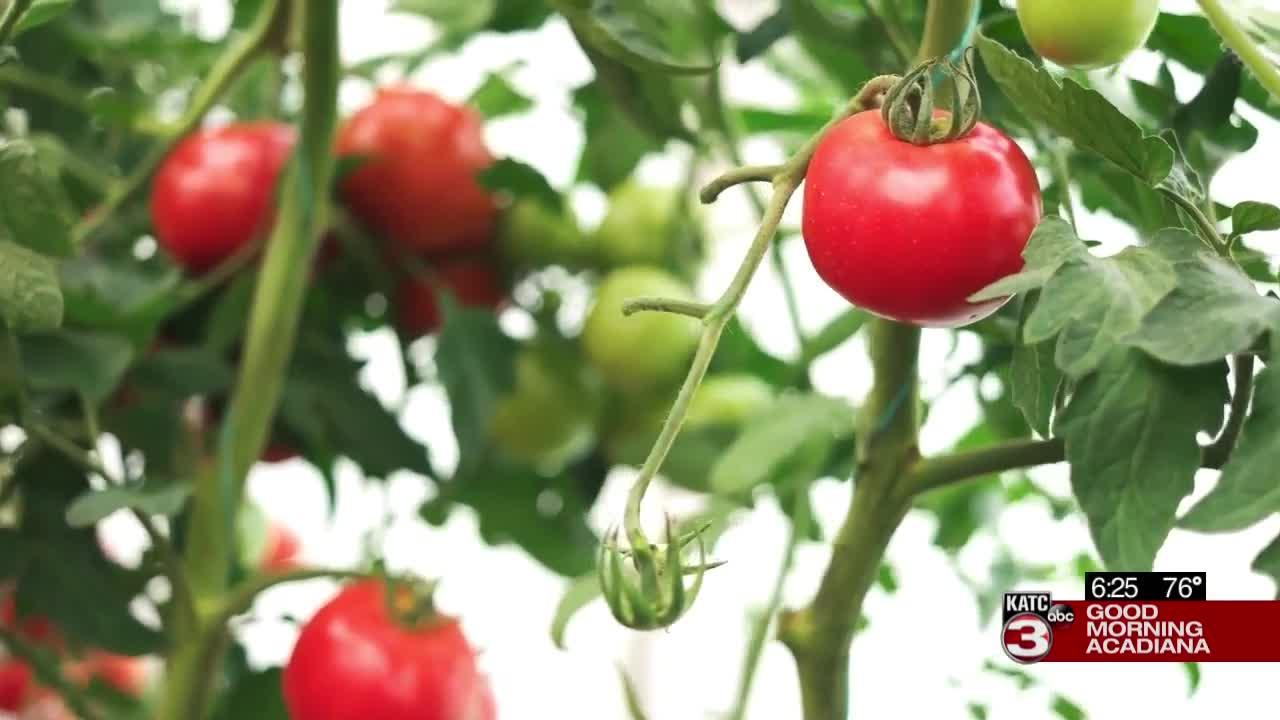 Keeping your tomatoes alive in the summer