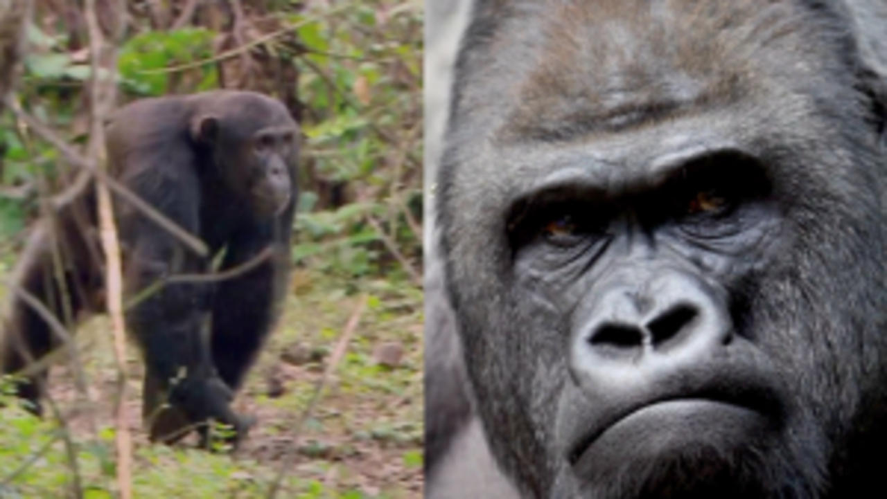 Interspecies Primate War Has Been Observed in the Wild For the First Time