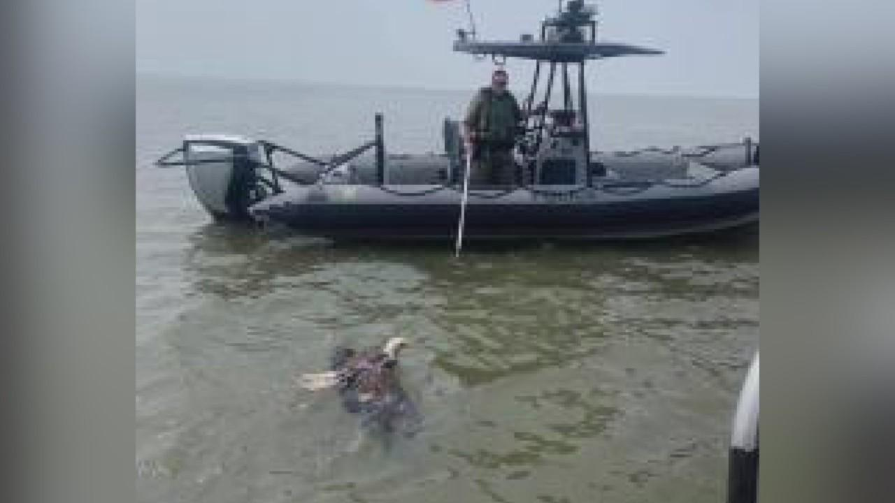 Injured Bald Eagle Rescued From Chesapeake Bay Near Poole's Island