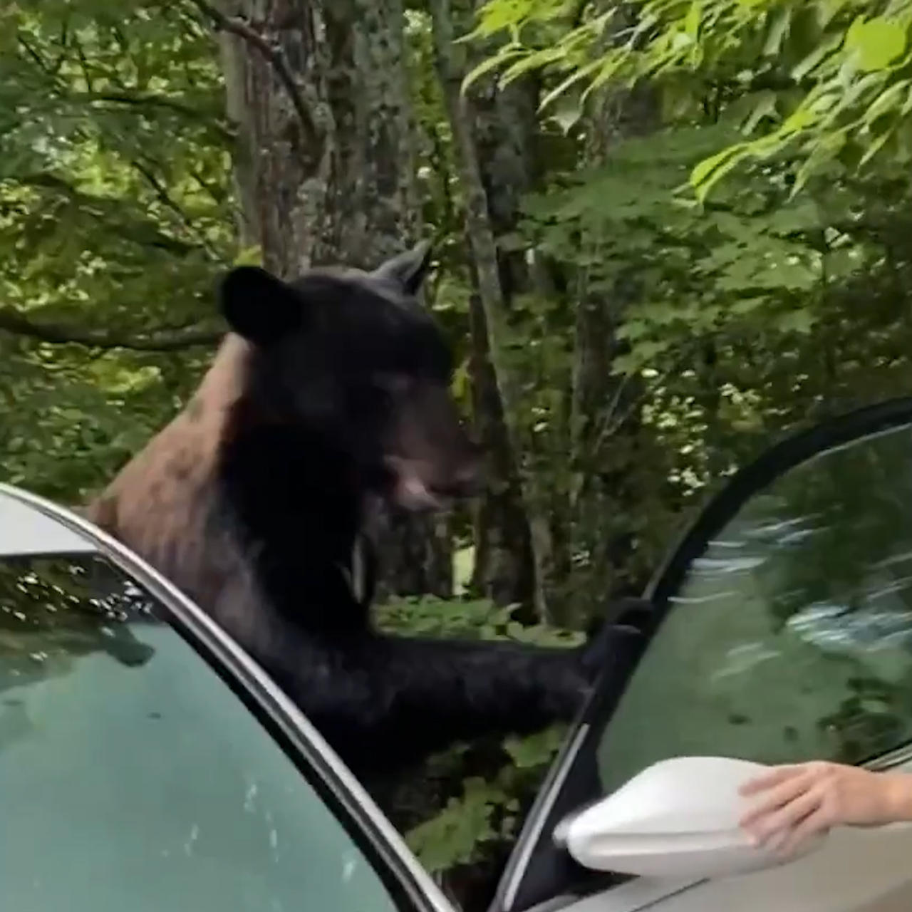 Tennessee man bravely releases black bear who climbed inside his car