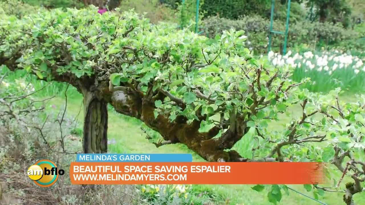 Melinda's Garden Moment - Beautiful space saving espalier
