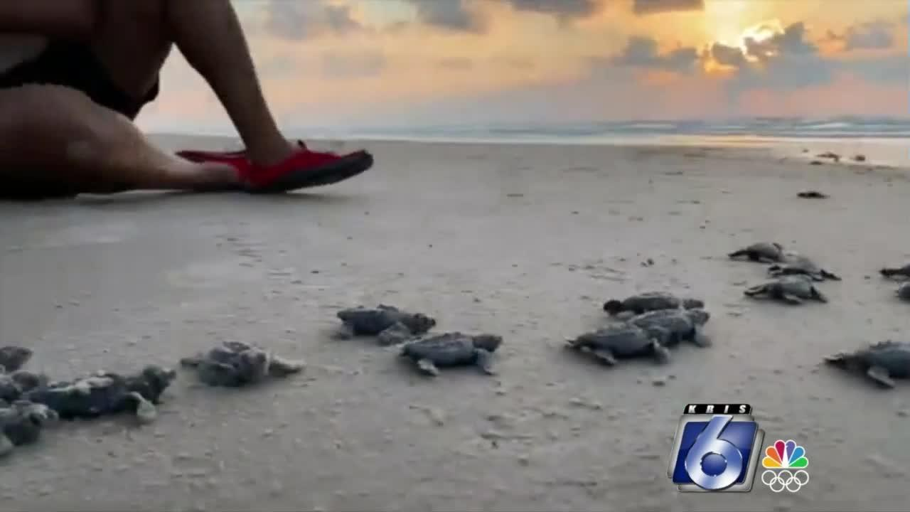 Turtle hatchlings set for release at Malaquite Beach