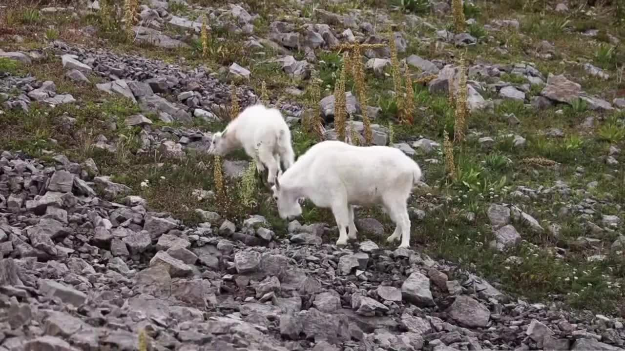 This Week in Fish and Wildlife: Mountain goats in the Bridgers