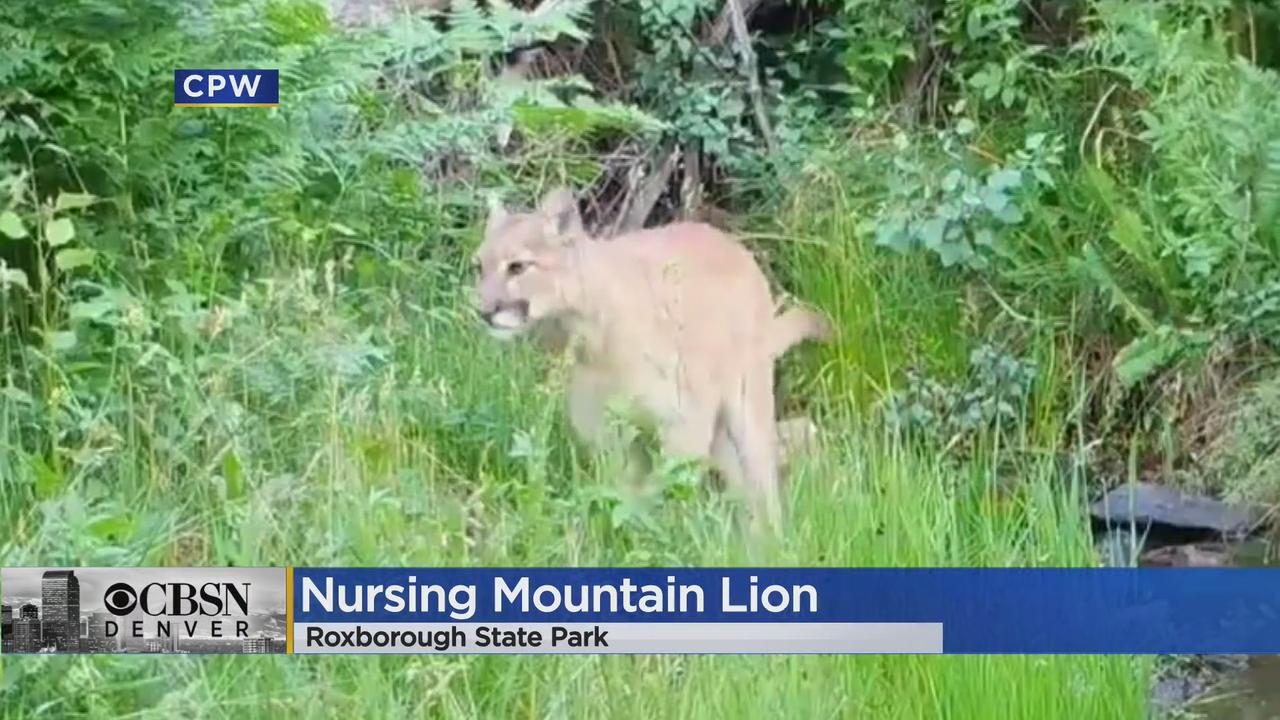 'Ranger Tiffany' Shares Rare Videos Of Mountain Lion Family Life In Roxborough State Park