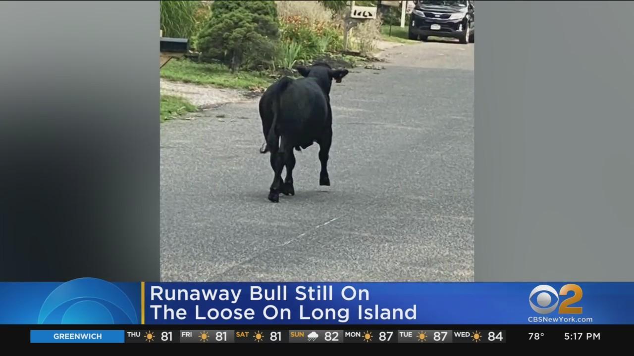 Runaway Bull Still On The Loose On Long Island