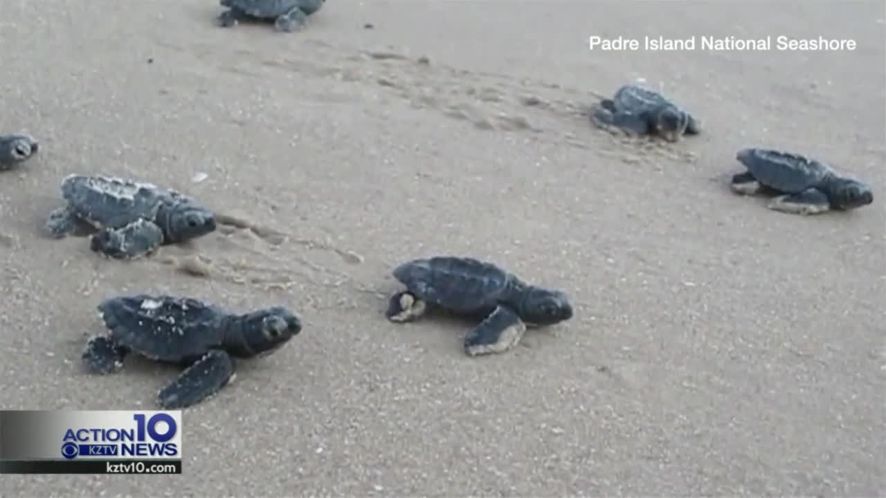 Sea turtle hatchling release: what to expect at PINS