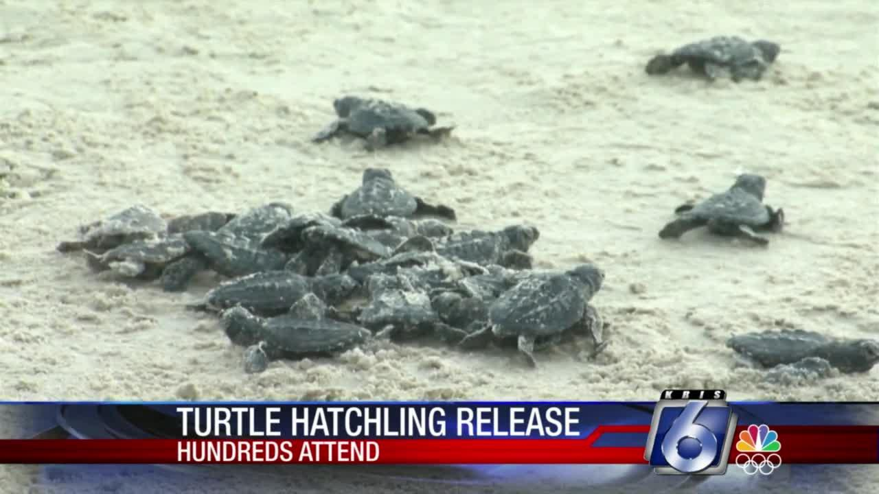 Huge crowd turns out for Friday's turtle hatchling release