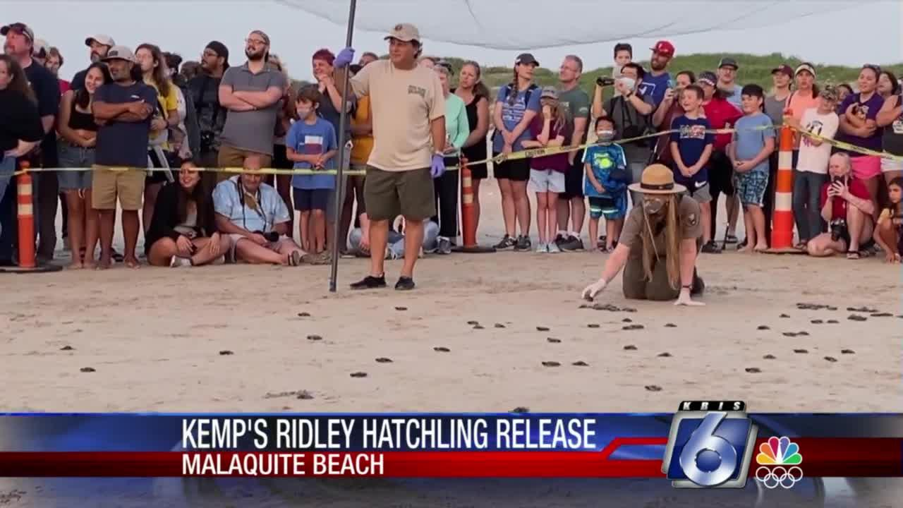 Kemps Ridley hatchlings released at Malaquite Beach Saturday