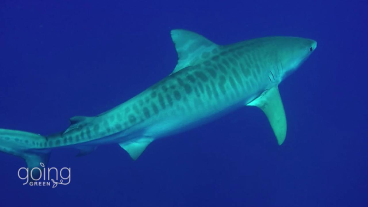 The scientist using data to protect sharks