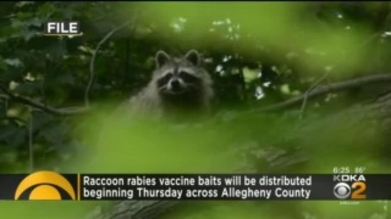 Raccoon Rabies Vaccine Baits To Be Dropped From The Sky In Allegheny County