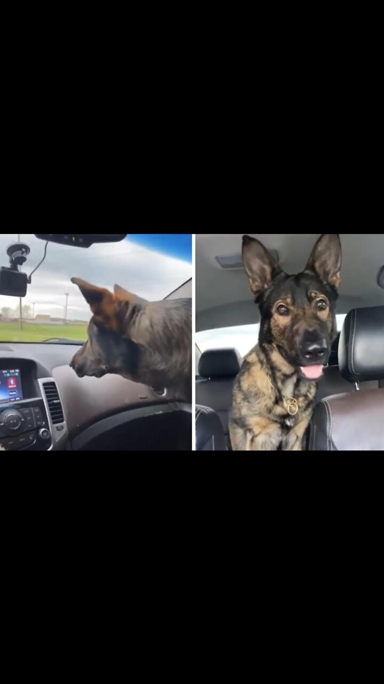 Confused pup adorably scared of the windshield wipers