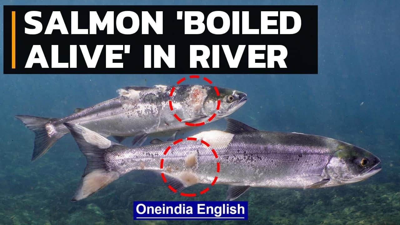 Salmon 'boiled alive' in Columbia river due to US heatwave, climate change   Oneindia News