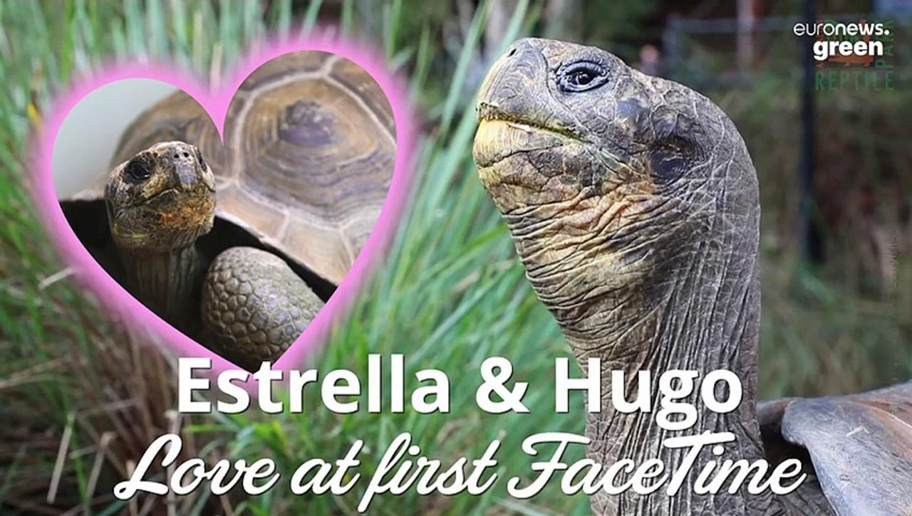 Endangered tortoises separated by lockdown share their first date via FaceTime
