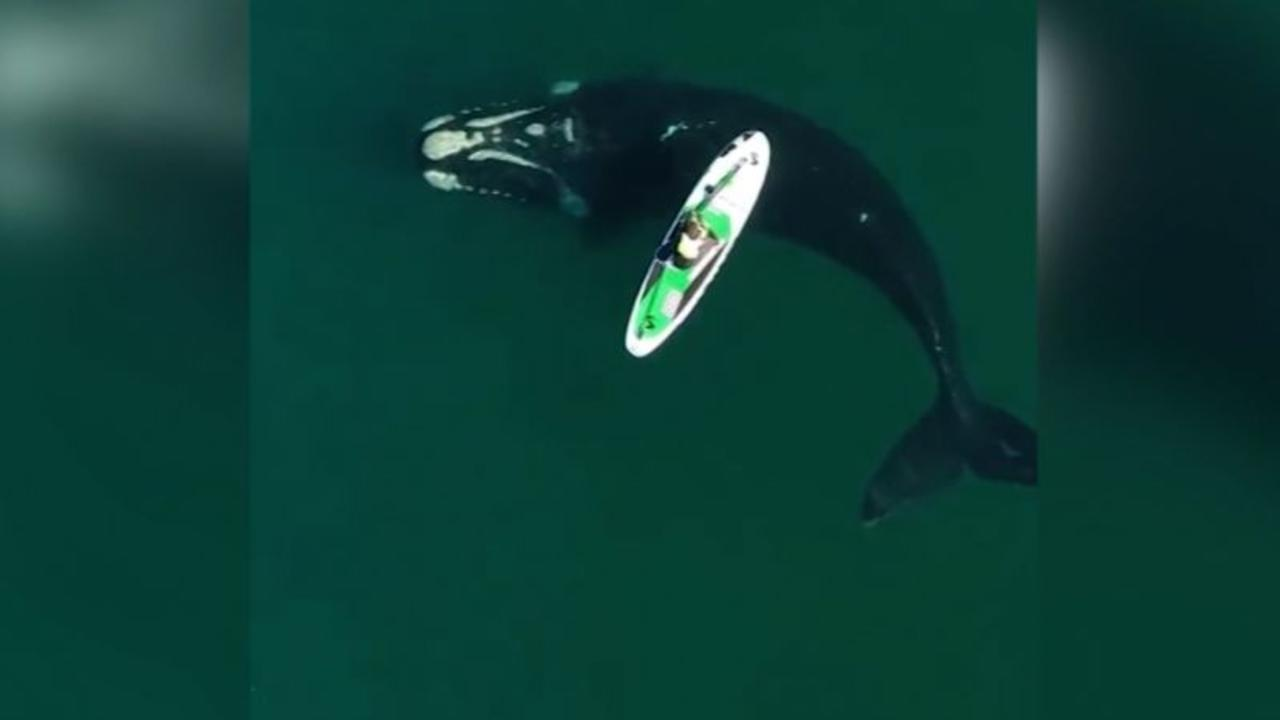 See whales approach a paddle boarder in Argentina