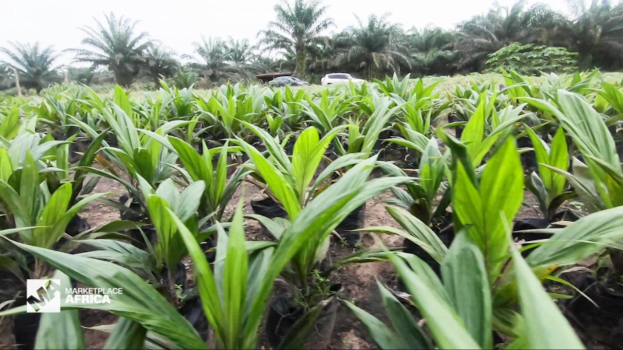 How Nigeria hopes to bolster its palm oil industry