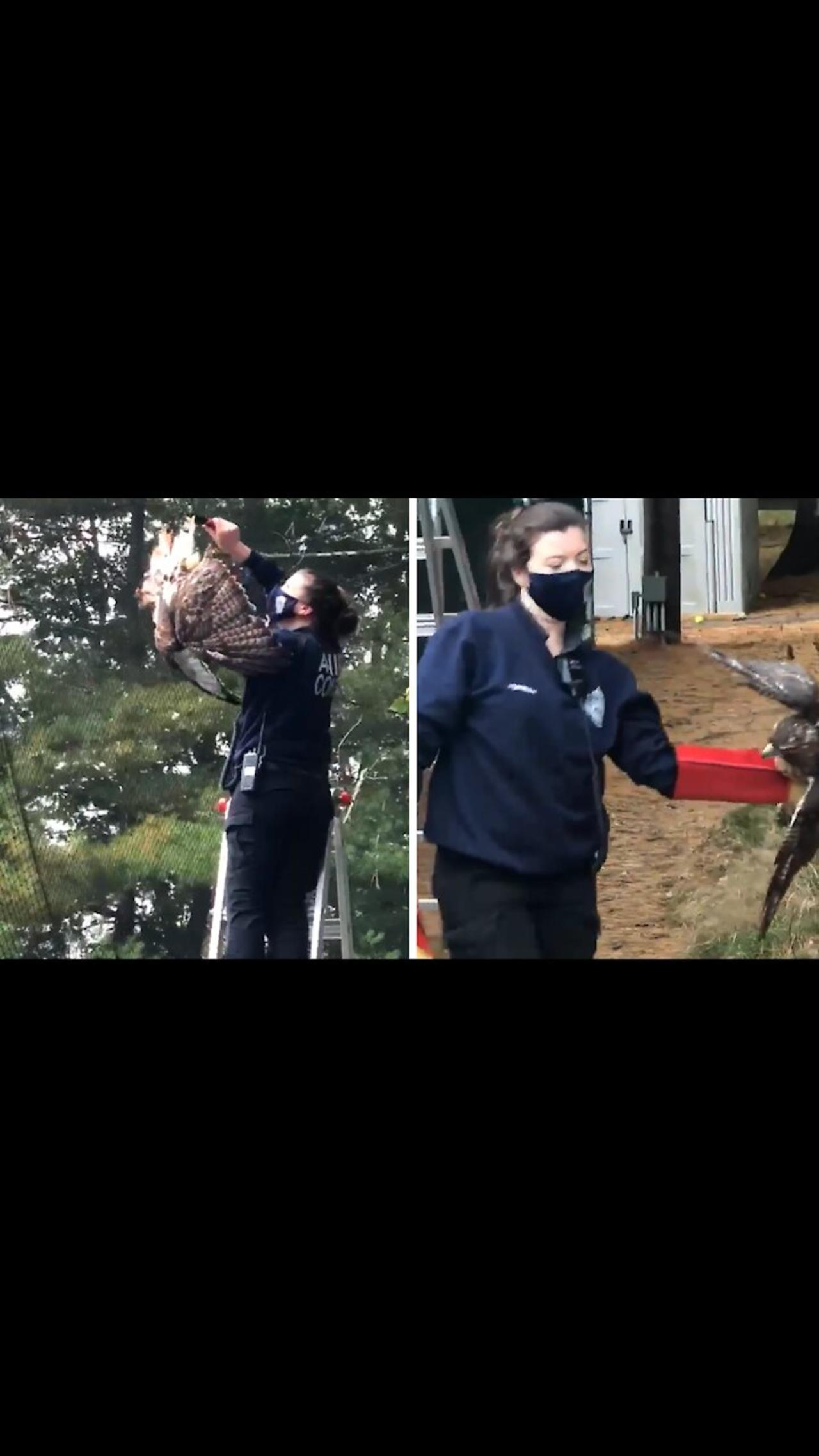 Police rescue Red-tailed hawk from certain death