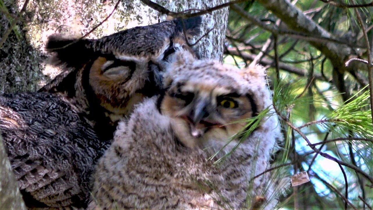 Mother owl cares for her baby chick in the nest