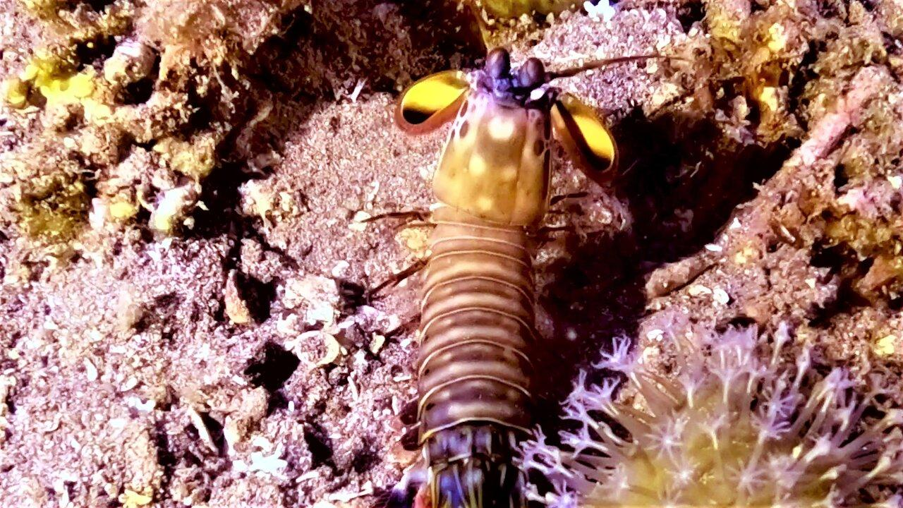 Mantis shrimp has the most powerful punch in the ocean