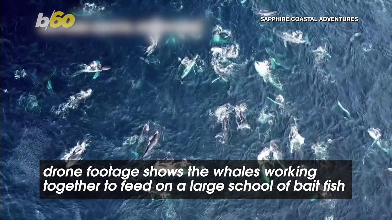 Drone Footage Shows More Than 100 Whales Feeding off Australia's New South Wales Coast