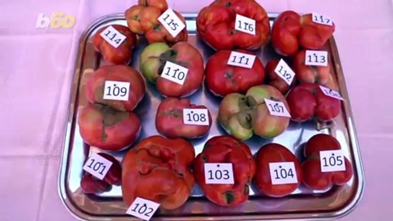 Terrible Tomato! Spanish Competition Awards Ugliest Tomato!