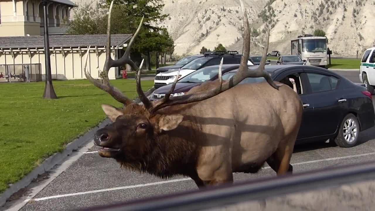 Elk rut in Mammoth village (Sept. 10, 2021)