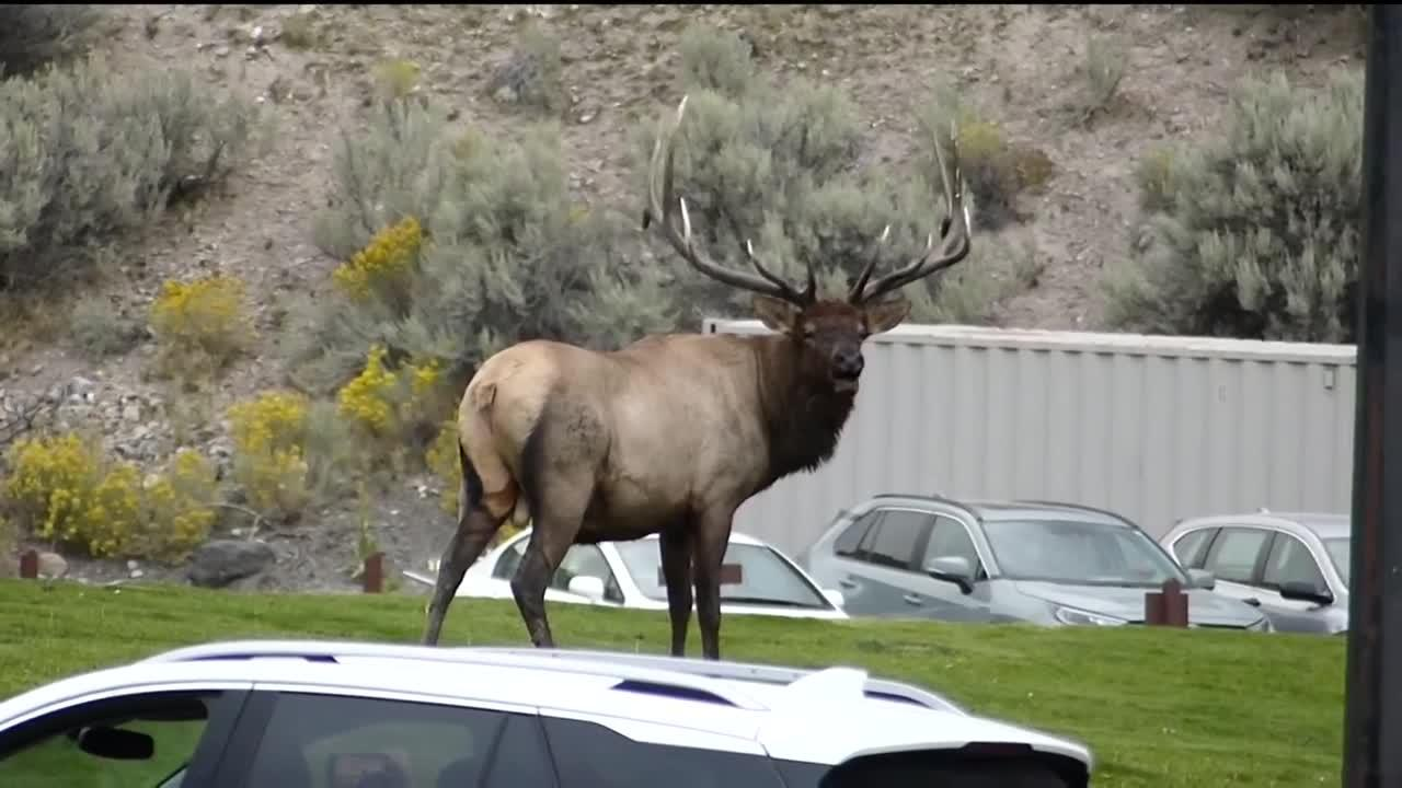Elk rut gives Yellowstone visitors a scary thrill