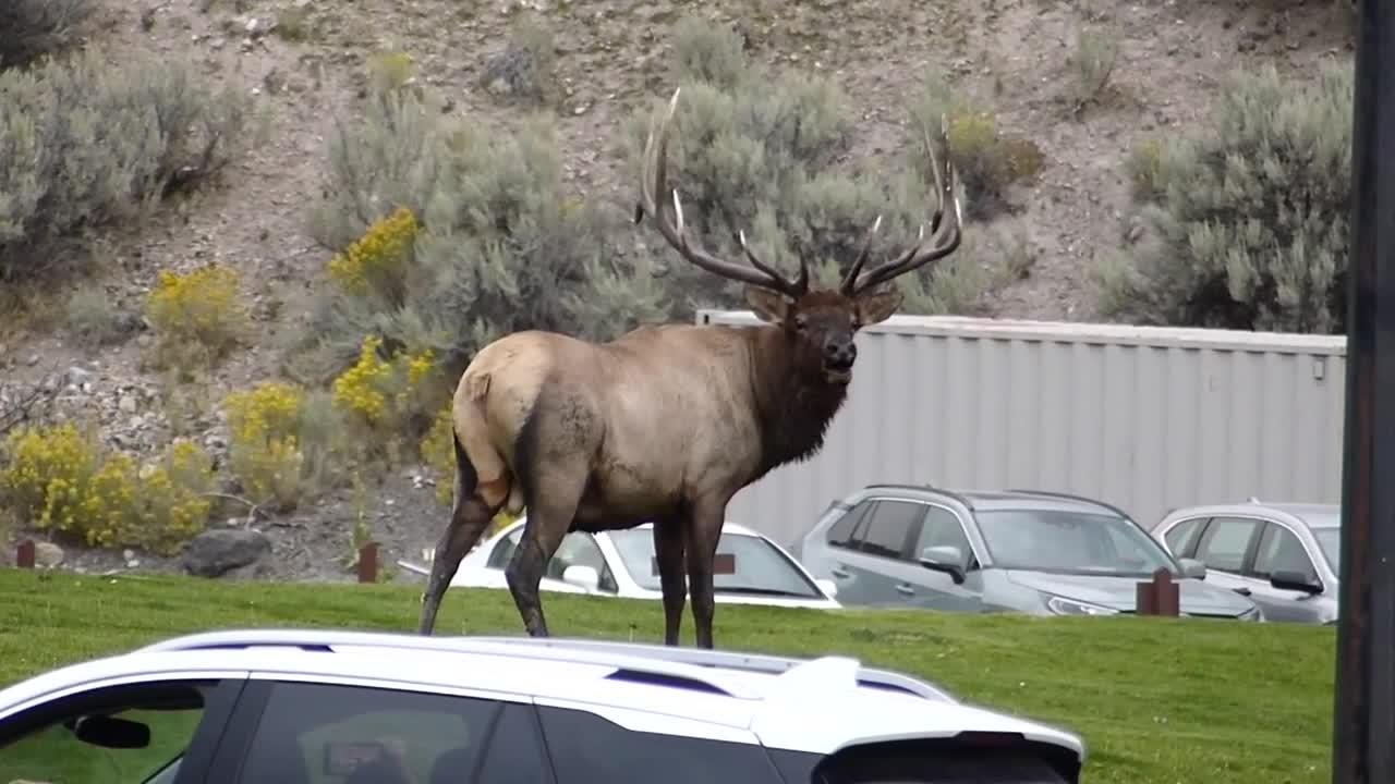 Elk rut gives Yellowstone NP visitors a scary thrill