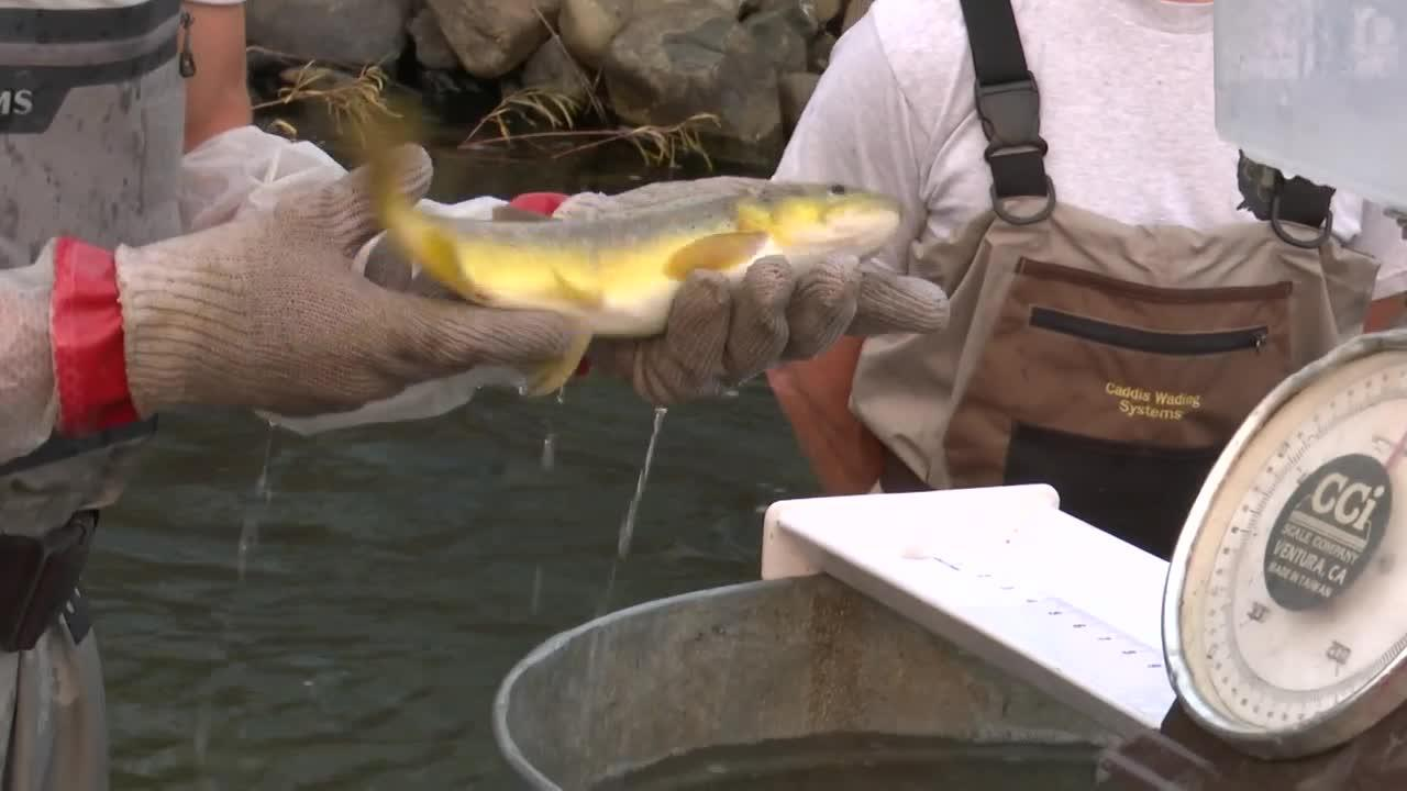 Montana FWP fish count shows growth in reconstructed Prickly Pear Creek