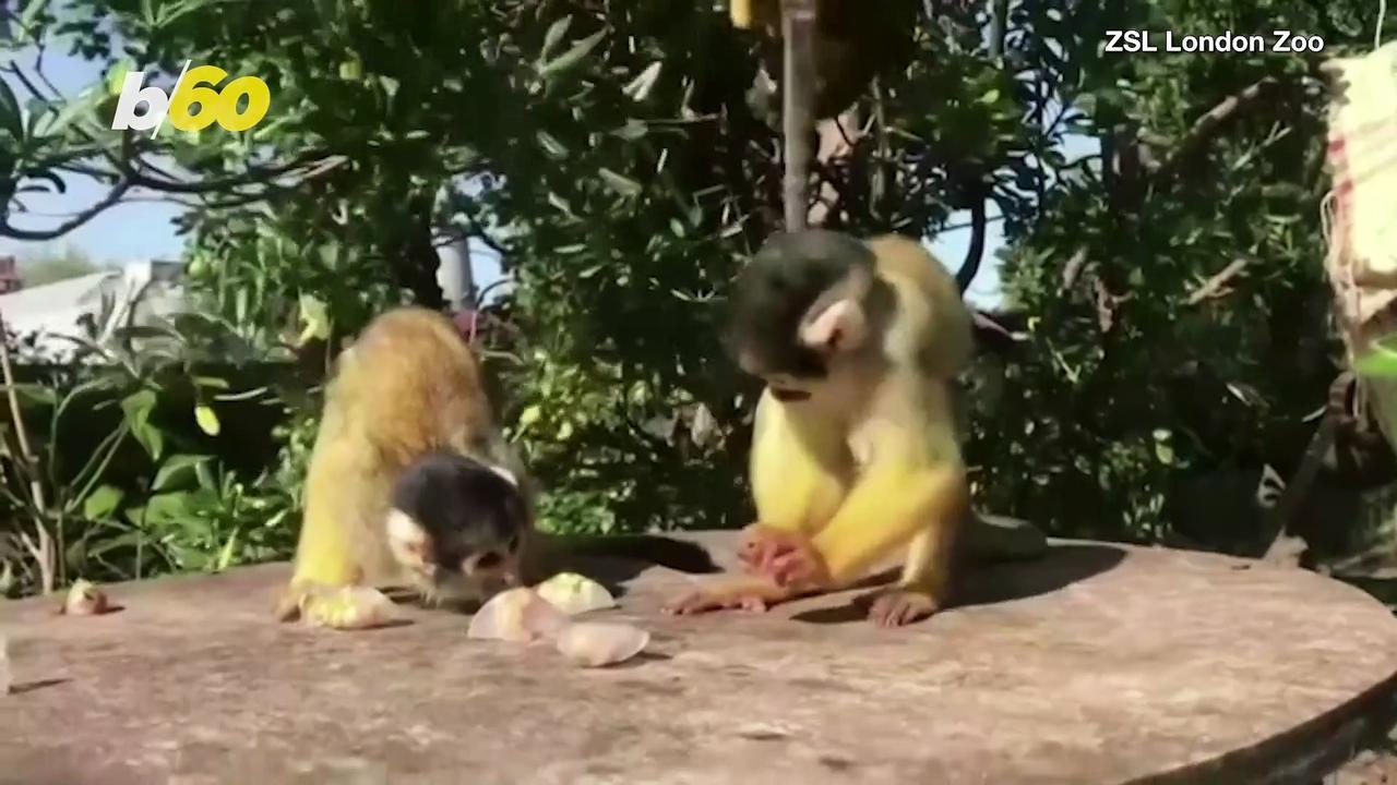 Squirrel Monkeys Enjoy Icy Treats To Beat the Summer Heat!