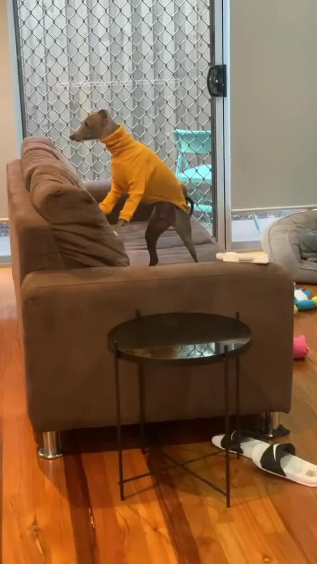 Sweater-wearing pup makes it clear he needs attention