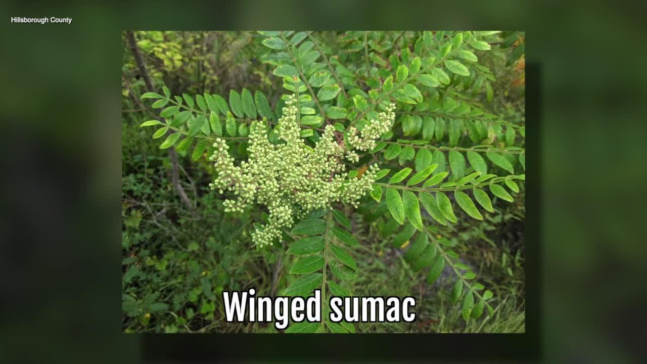 Winged Sumac   Sarah's Walking Club Fall Scavenger Hunt