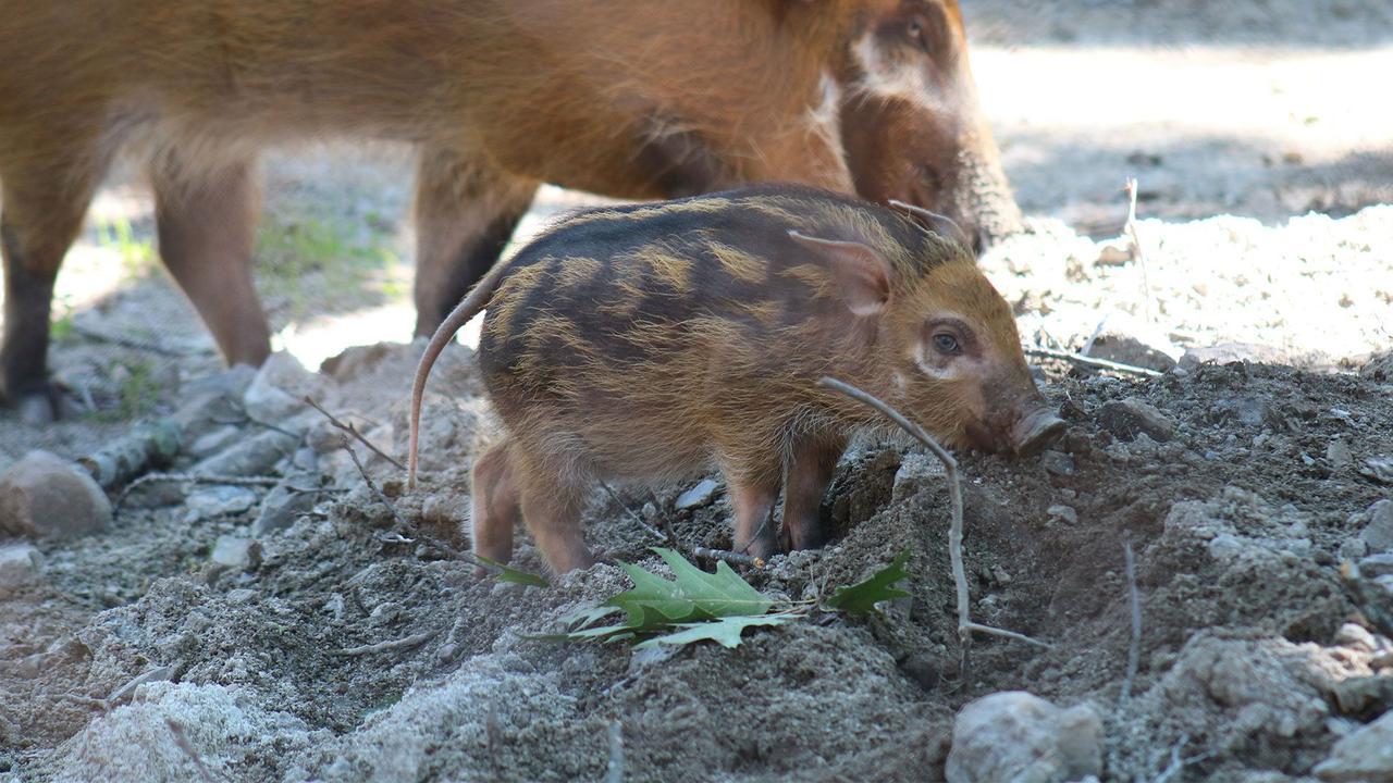 Adorable red river hog piglet makes exhibit debut at Franklin Park Zoo